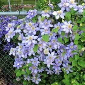 Клематис Блю Лайт Голубой свет Clematis Blue Light PBR, h40см горшок d12см
