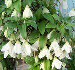 Клематис Джингл Белс Clematis cirrhosa Jingle Bells, h40см горшок d12см