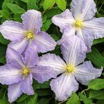 Клематис Блю Энжел Голубой Ангел Clematis Blue Angel, h40см горшок d12см